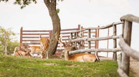 Wild deers Royalty Free Stock Photo