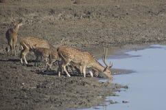 Wild deers. Drinking water at Yala Safari Stock Photos