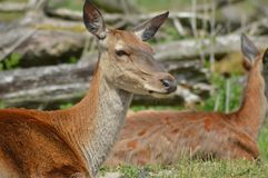 Wild deers in the dutch polder Royalty Free Stock Photo