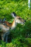 Wild deers in the feild. Wild deers called Ezo Shika in Shiretoko, Hokkaido Stock Image
