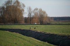 Wild deers on a field Stock Photo