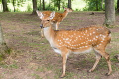 Wild deers in a forest park Stock Image