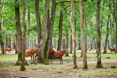 Wild deers in mixed pine and deciduous forest. Wild deers in beautiful mixed pine and deciduous forest, France stock image