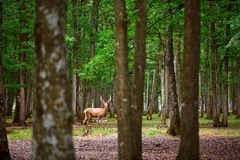 Wild deers in mixed pine and deciduous forest Stock Images