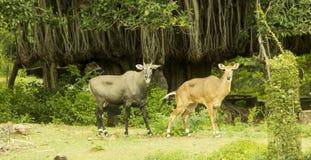 Wild deers Stock Images