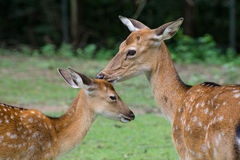 Wild deers in the nature. Royalty Free Stock Photography
