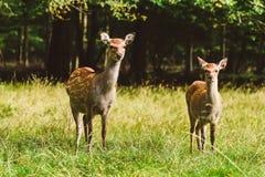 Wild deers pair in Jaegersborg park, Copenhagen. Royalty Free Stock Photo
