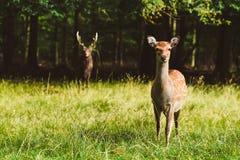 Wild deers pair in Jaegersborg park, Copenhagen. Wild deers pair in Jaegersborg Dyraehaven - forest park in Klampenborg, Copenhagen. Nature reservation in stock images