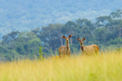 Wild deers post in beautiful landscape Stock Image