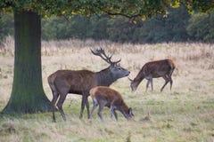 Wild deers Stock Photos