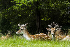 Wild deers relaxing / Poland / Europe stock photography