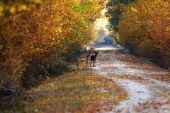 Wild deers on rural road Royalty Free Stock Image