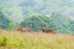 Wild deers stair at us in raining Stock Image