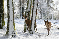 Wild deers between the trees, in the winter park with fresh snow. Germany Royalty Free Stock Image