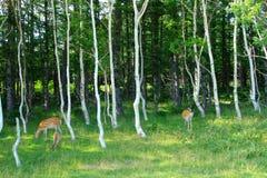 Wild deers in the woods. Wild deers called Ezo Shika in Shiretoko, Hokkaido Stock Images
