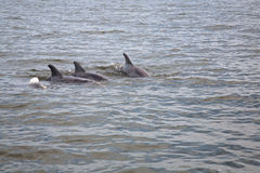 Wild delfiner Arkivfoton