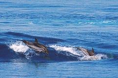 wild delfiner Royaltyfri Bild