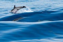 wild delfiner Royaltyfria Foton