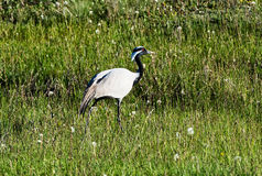 Wild demoiselle crane on a green meadow Royalty Free Stock Images