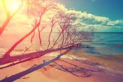 Wild desert beach with fallen dead tree Royalty Free Stock Photography