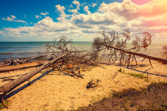 Wild desert beach with fallen dead trees Royalty Free Stock Photo