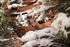 Wild Desert Bighorn Sheep Stock Photos