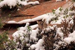 Wild Desert Bighorn Sheep Stock Photo