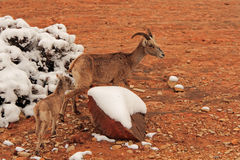 Wild Desert Bighorn Sheep Stock Images