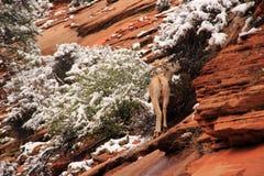 Wild Desert Bighorn Sheep Stock Image