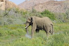 Wild Desert Elephants in Namibia Africa. A wild desert elephant cooling off and drinking water at a local water source in Damaraland, Namibia, Africa Royalty Free Stock Images