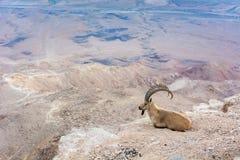 Wild desert goat Stock Image