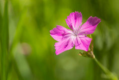 Wild Dianthus Armeria Royalty Free Stock Photography