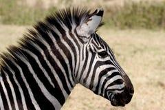 Wild dier in Afrika, serengeti nationaal park Royalty-vrije Stock Afbeeldingen