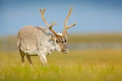 Wild dier van Noorwegen Rendier, Rangifer-tarandus, met massieve geweitakken in het groene gras en de blauwe hemel, Svalbard, Noo stock foto