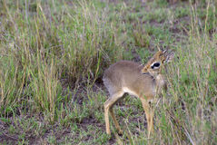 Wild dik dik Stock Photos