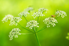 Wild Dill Royalty Free Stock Images
