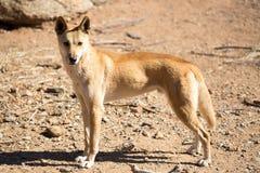 Wild Dingo Stock Images