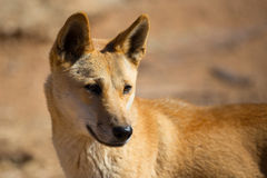 Wild Dingo Stock Photography