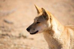 Wild Dingo Stock Image