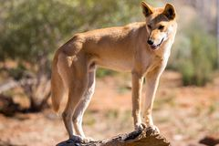 Wild Dingo Royalty Free Stock Photography