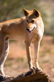 Wild Dingo. An alert wild dingo near Alice Springs, Northern Territory, Australia Royalty Free Stock Photography