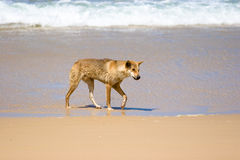 Wild Dingo on Beach. A wild dingo running along the beach of Fraser Island, Australia Stock Image