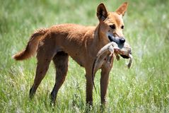 Wild dingo with bearded dragon  in Sturt Desert. The dingo (Canis lupus dingo) is a free-ranging dog found mainly in Australia. Its exact ancestry is debated Stock Image