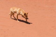 Wild dingo creeping / stalking in Red Centre Australia Royalty Free Stock Photos