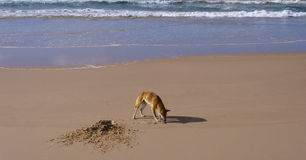 Wild dingo, Fraser Island, Australia Royalty Free Stock Photography