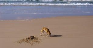 Wild dingo, Fraser Island, Australia. Wild dingo looking for food in Fraser Island, Australia Royalty Free Stock Photography