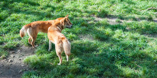 Wild dingos, Australia Stock Photography
