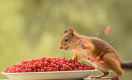 Wild dinner. Squirrel with a plate redcurrant and throwing away some stock photo