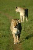 wild djur Royaltyfri Bild