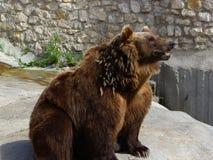 wild djur björn Arkivfoto